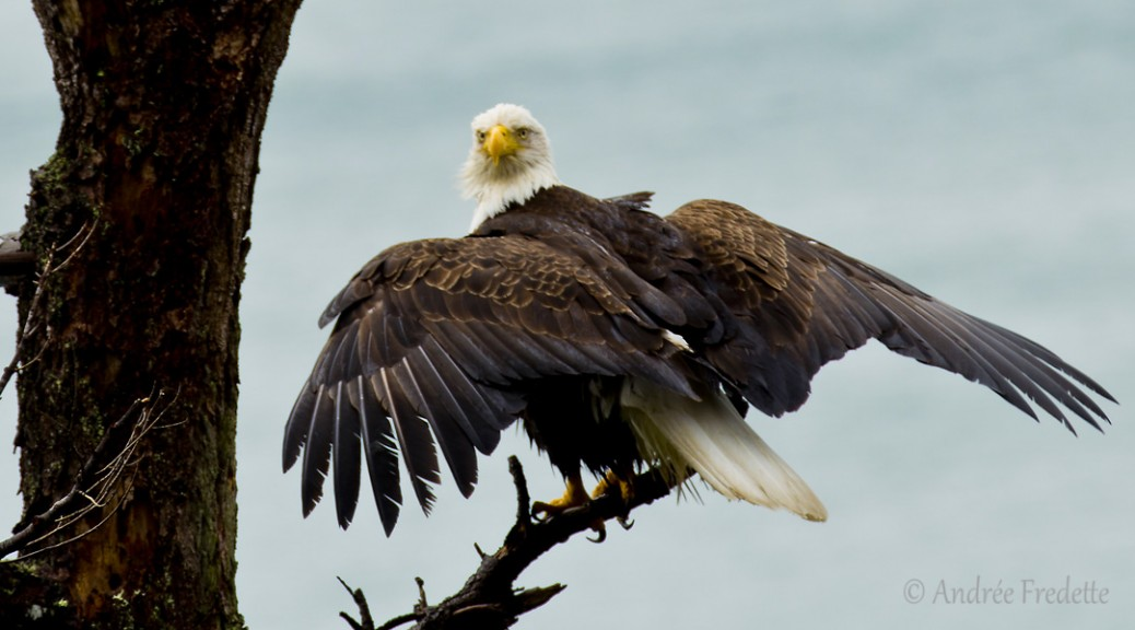 Eagle, drying out after fishing. Photo by Andrée Fredette