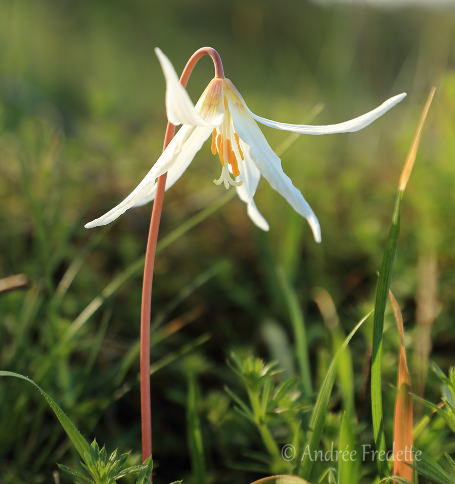 Fawn lily (Erythronium oregonum), blooming on Saturna Island, BC. Photo by Andrée Fredette
