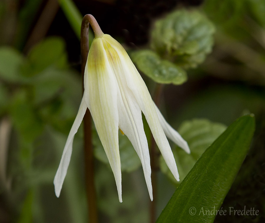 Fawn lily (Erythronium oregonum), a spring wildflower on Saturna Island, BC. Photo by Andrée Fredette