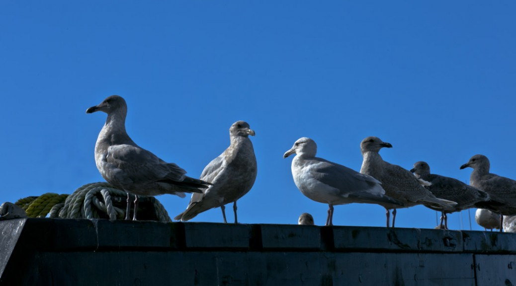 Gull Convention, Steveston Docks, BC. Photo by Andrée Fredette