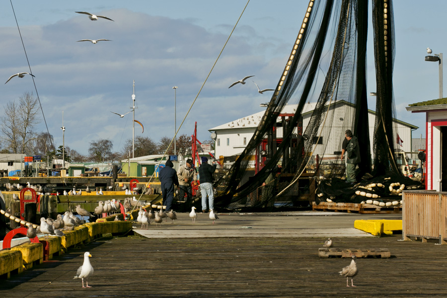 Gull gangs at the dock, Steveston, BC. Photo by Andrée Fredette