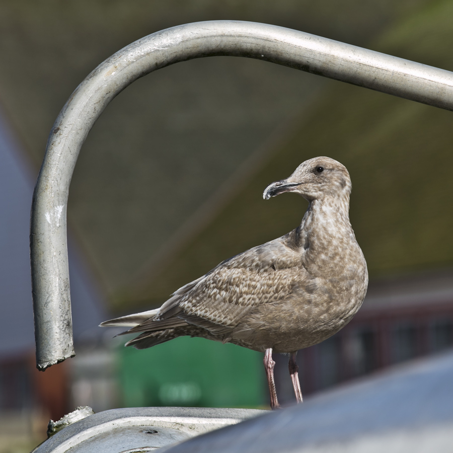 Gull poses with heavy metal. Photo by Andrée Fredette