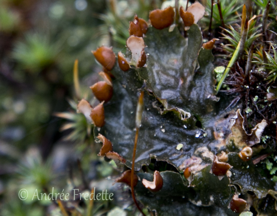 Freckle pelt lichen (Peltigera aphthosa) with capsules open. Photo by Andrée Fredette