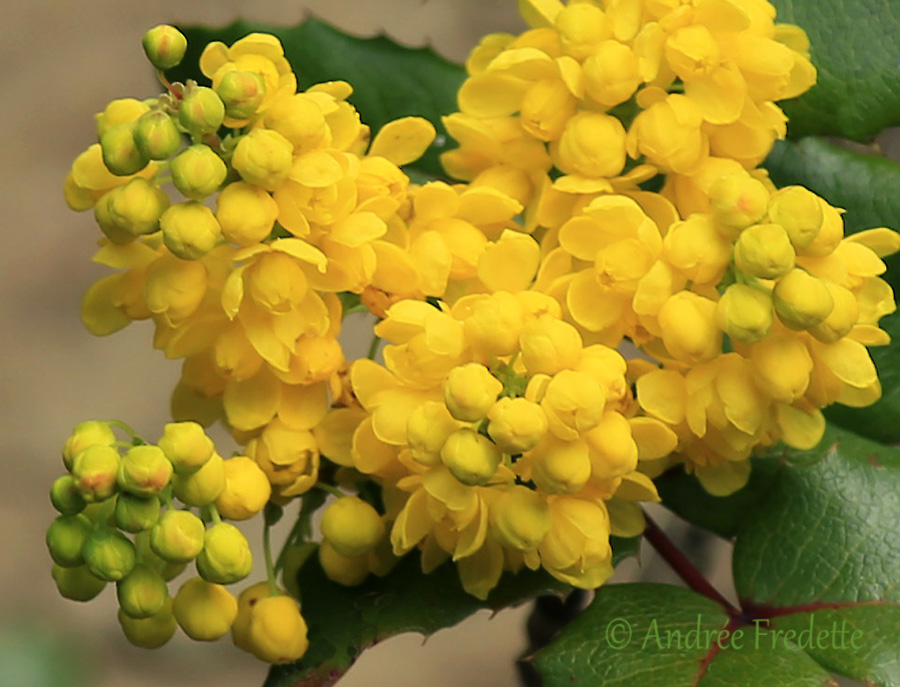 Oregon grape in bloom (Mahonia aquifolium). Photo by Andrée Fredette