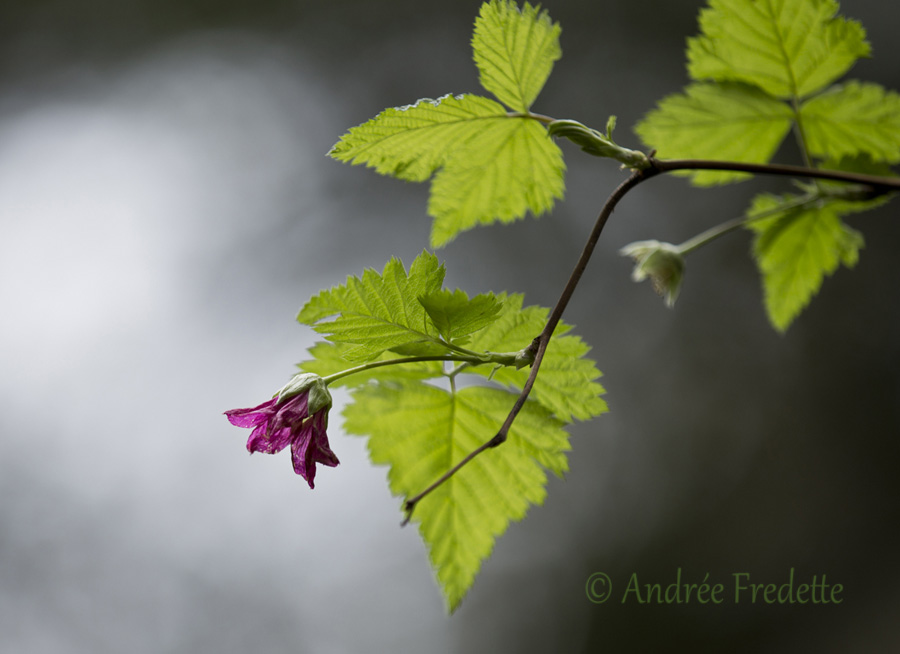Salmonberry blossom (Rubus spectabilis). Photo by Andrée Fredette