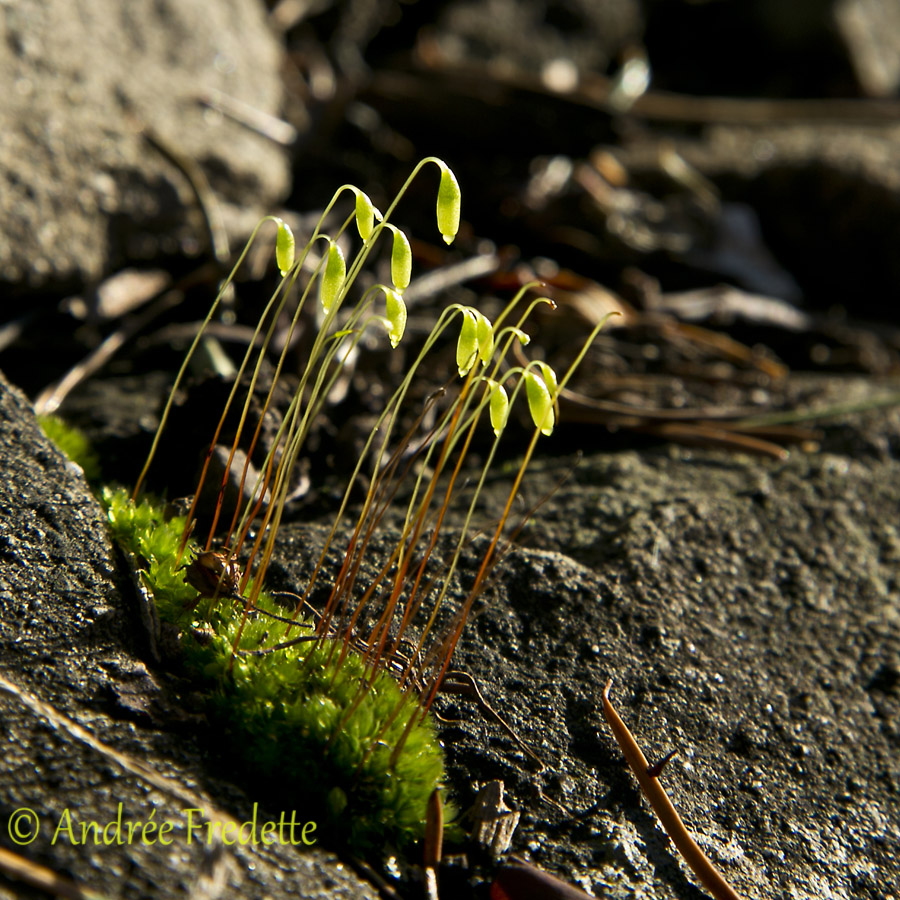 Moss outpost in my rockery, Saturna Island, BC. Photo by Andrée Fredette