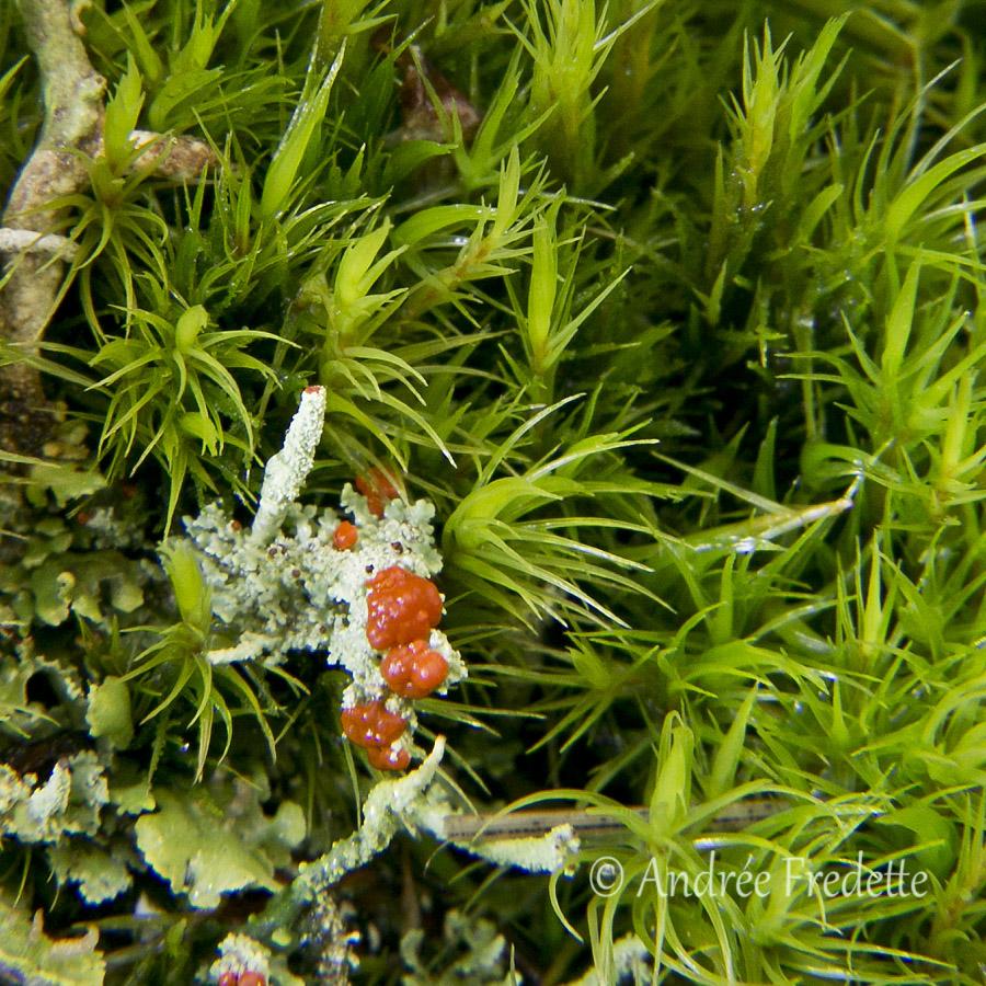 British Soldier Lichen (Cladonia cristadella), Saturna Island, BC. Photo by Andrée Fredette