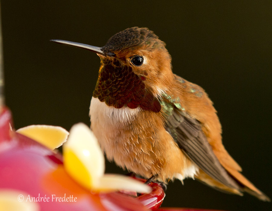 Rufous hummingbird male. Photo by Andrée Fredette