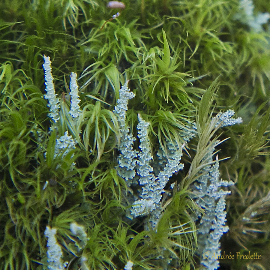 Liche colonists in the moss. Photo by Andrée Fredette