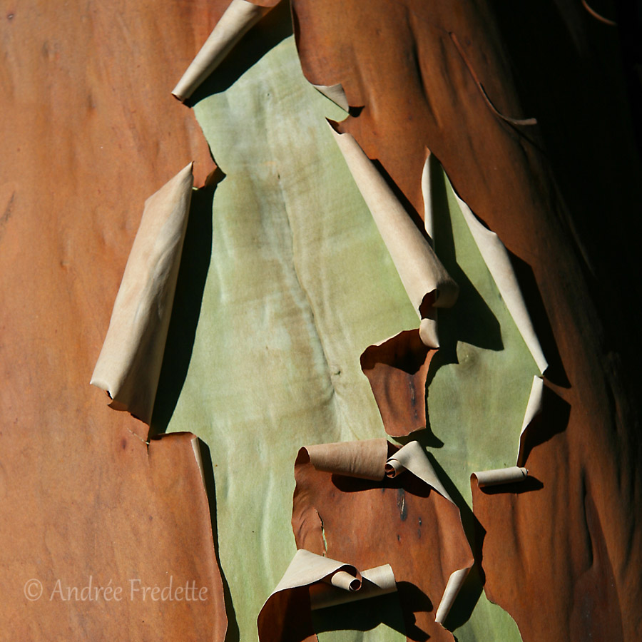 Arbutus revealing new bark. Photo by Andrée Fredette
