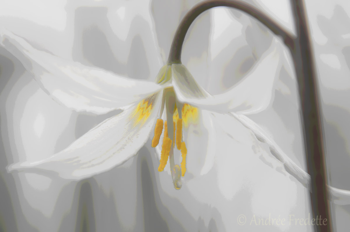 Fawn lily. Photo by Andrée Fredette