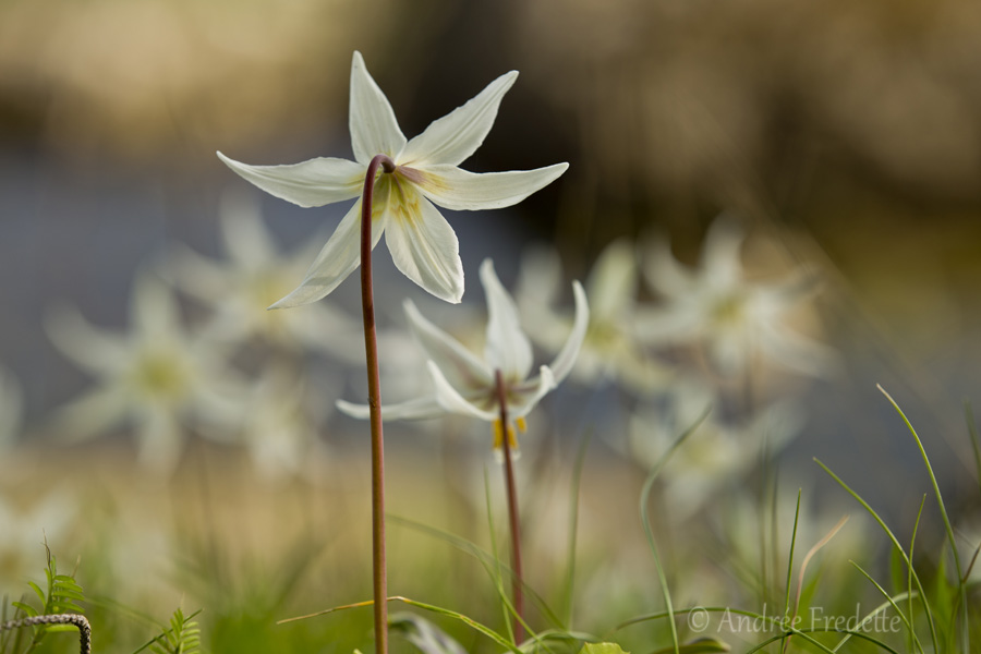 Fawn lilies by the ocean. Photo by Andrée Fredette