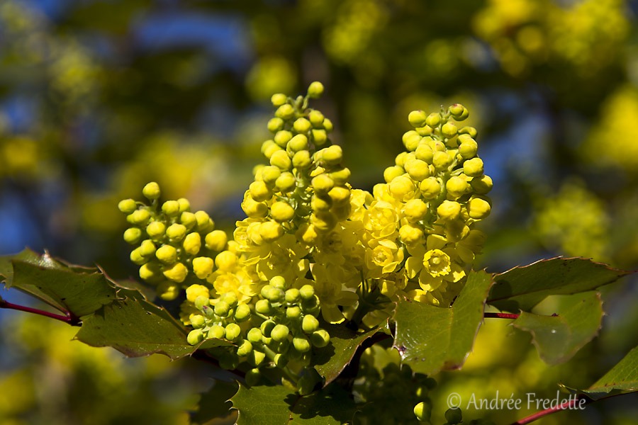 Tall Oregon grape, in bloom. Photo by Andrée Fredette
