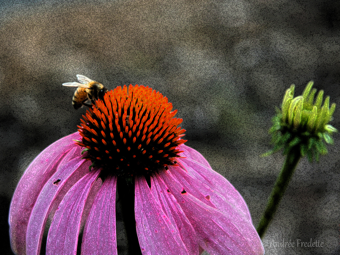 Bee on Echinacea. Photo by Andrée Fredette