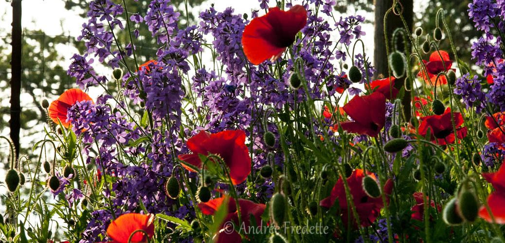 Poppies in my garden, photo by Andrée Fredette