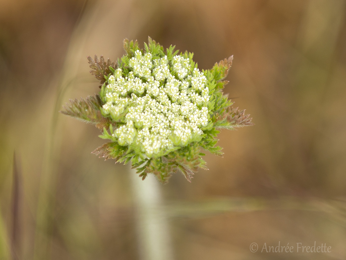 Achillea blossom, about to open. Photo by Andrée Fredette