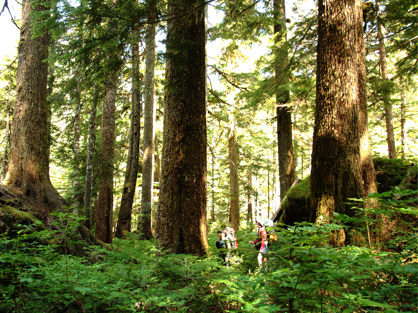 Big trees. Vancouver Island, BC. Photo by Andrée Fredettte