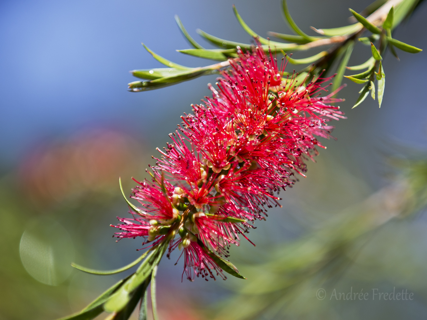 Bottlebrush, blooming in the garden in June. Photo by Andrée Fredette
