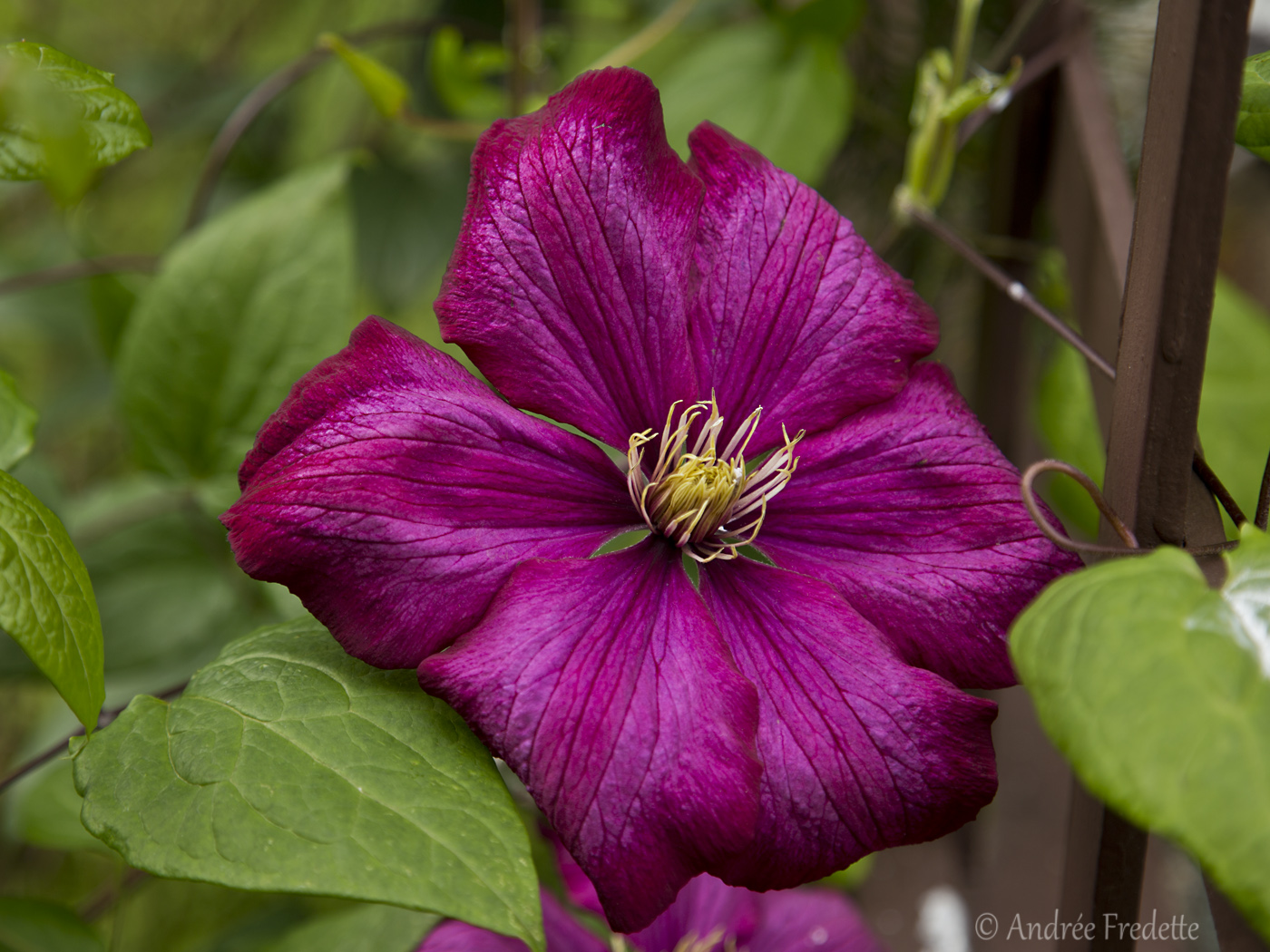 Clematis with lush colour. Photo by Andrée Fredette