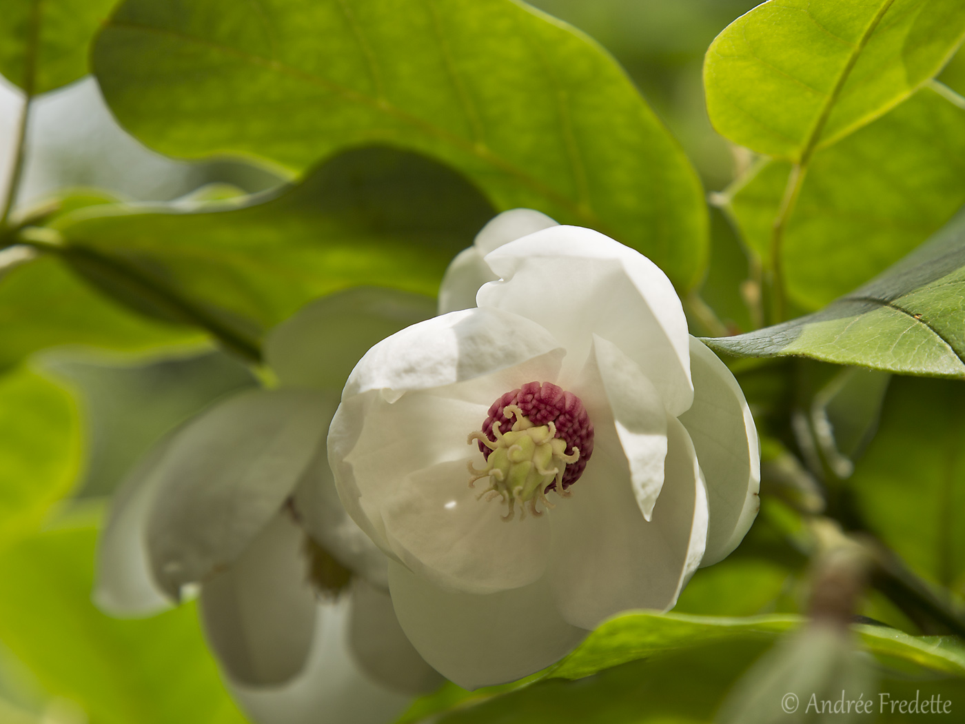 Magnolia sieboldii. Photo by Andrée Fredette