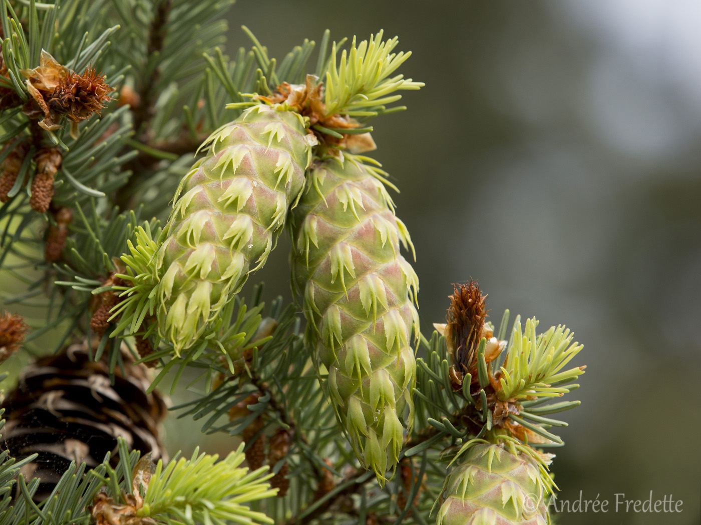 Douglas Fir female cones. Photo by Andrée Fredette
