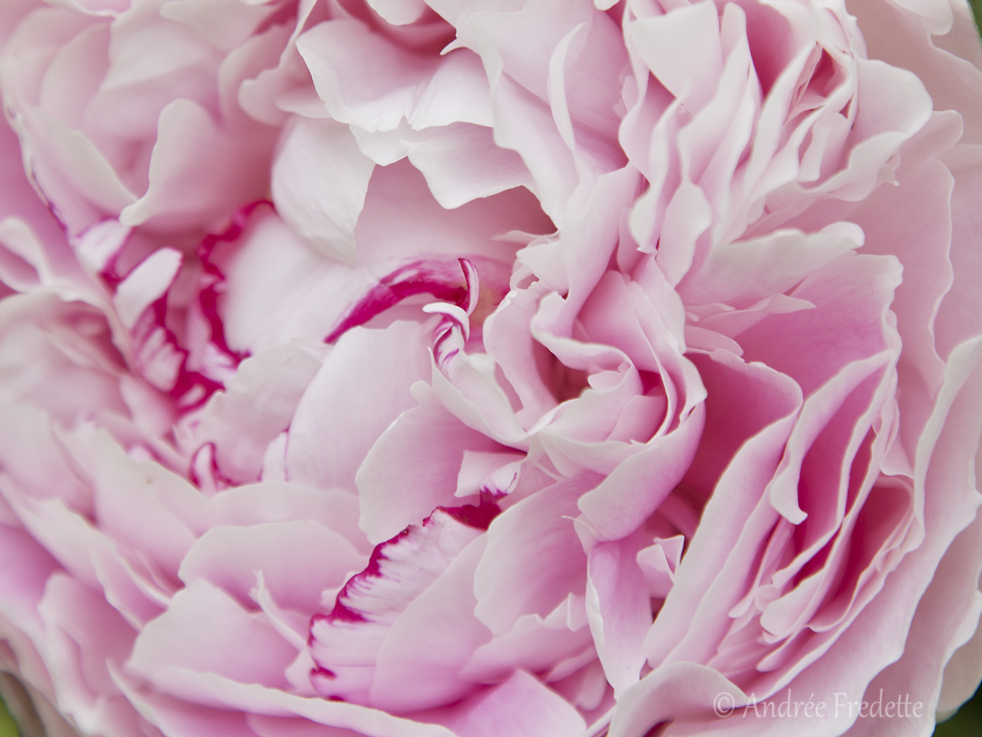 Intimate look at a peony. Photo by Andrée Fredette