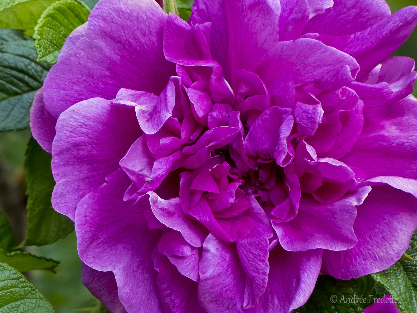 Rosa rugosa. Photo by Andrée Fredette