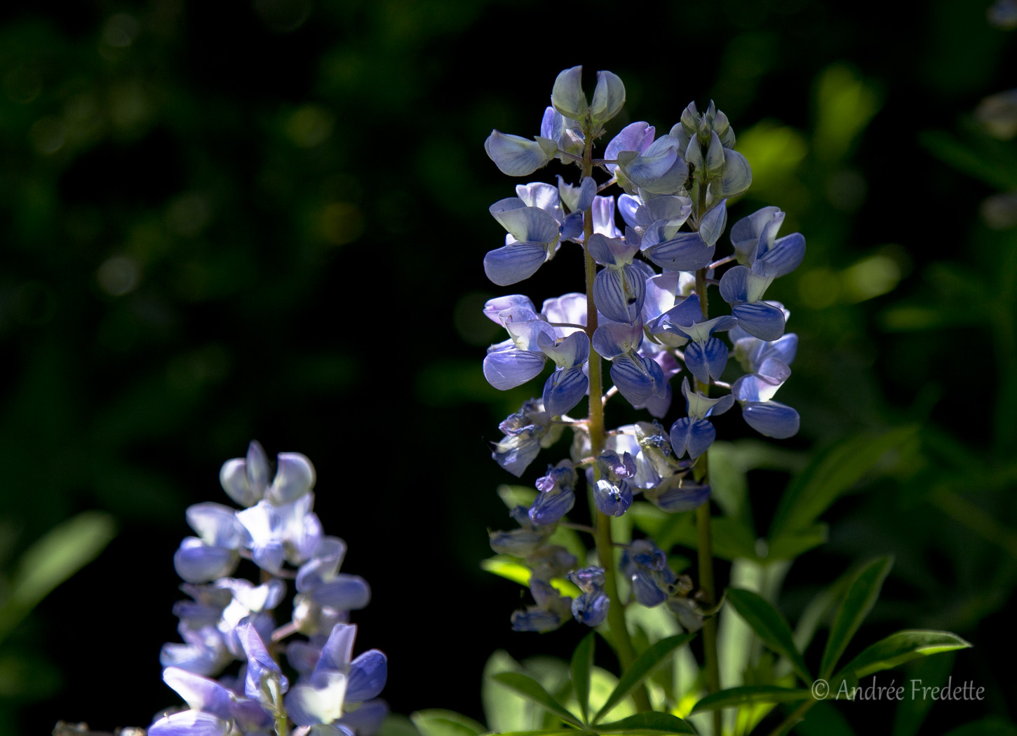 Lupine on the mountain. Photo by Andrée Fredette