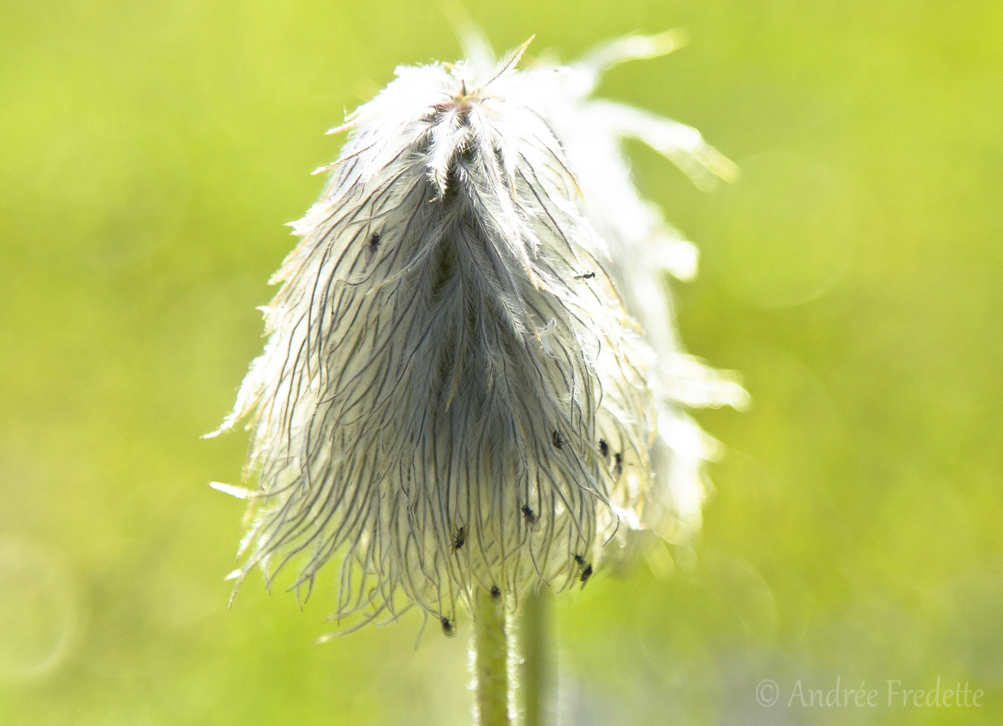 Seedhead of Western Pasque flower (Anemone occidentalis). Photo by Andrée Fredette