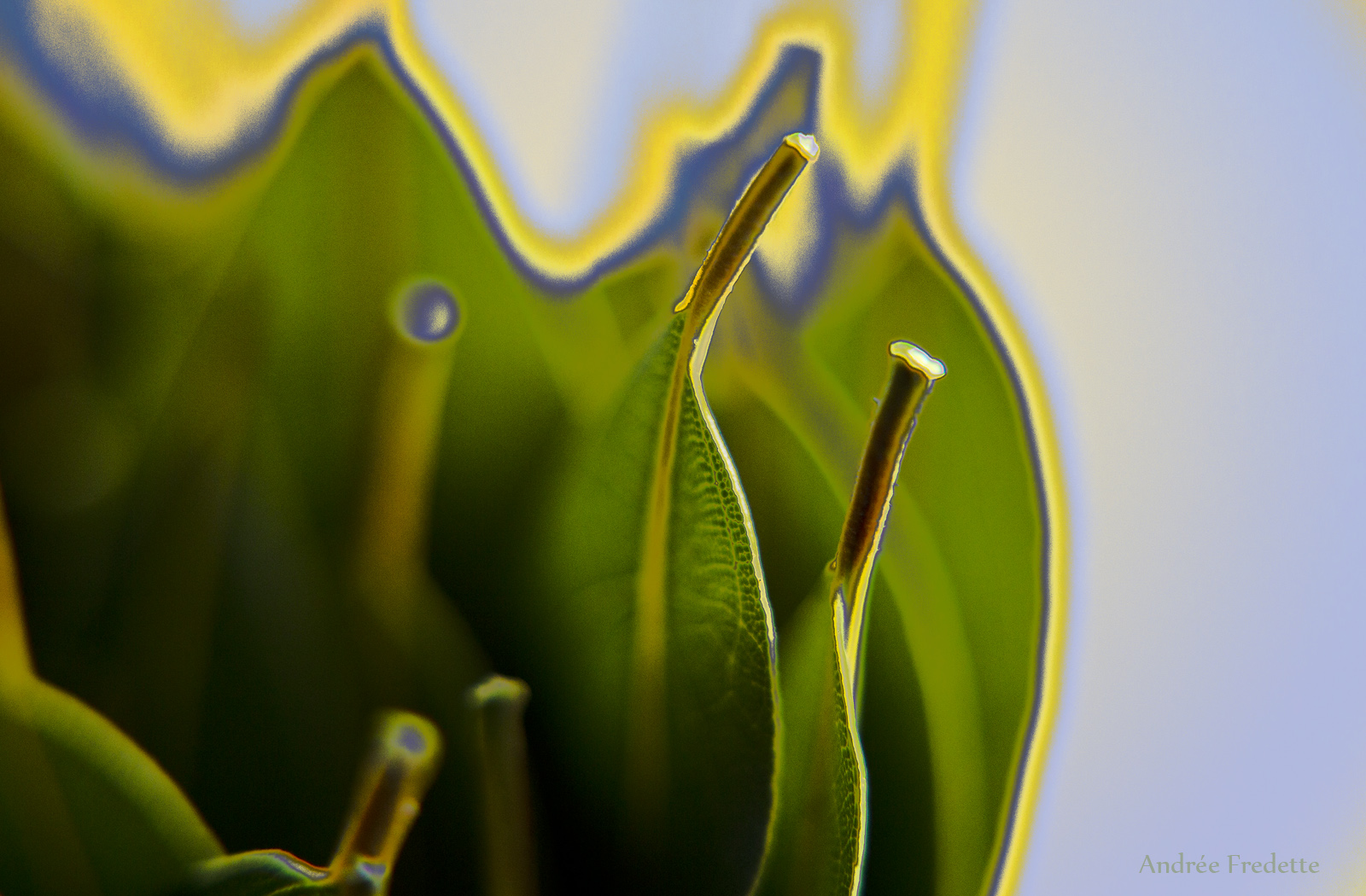 Laurel Leaf Edges. Almost abstract, photo by Andrée Fredette