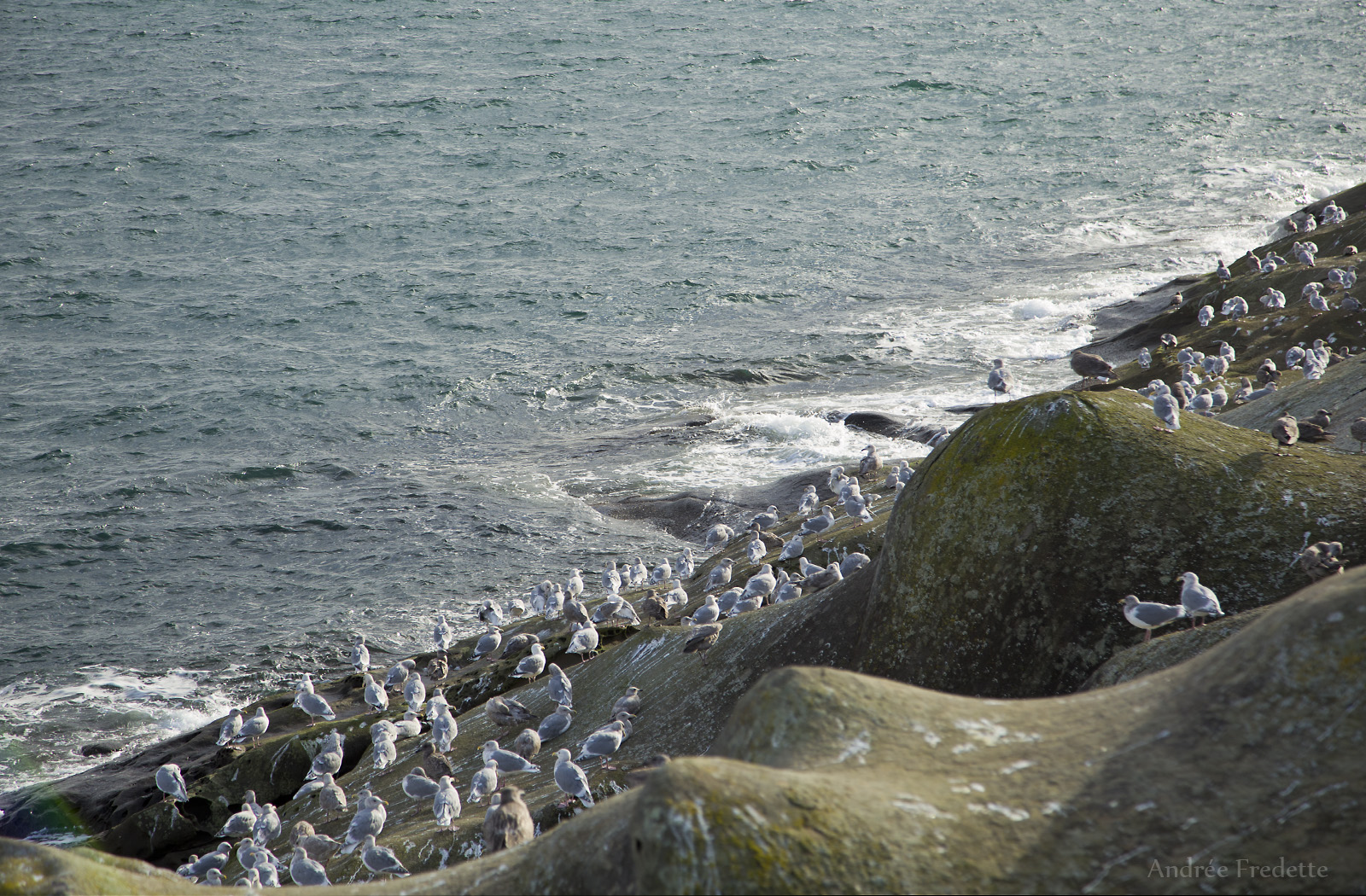 Gull convention at East Point, Saturna island. Photo by Andrée Fredette