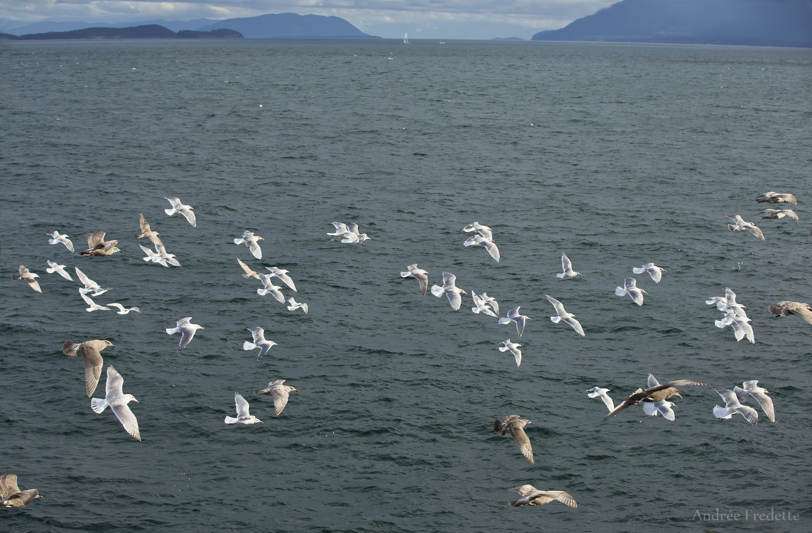 Gull in flight at East Point, Saturna Island, BC. Photo by Andrée Fredette