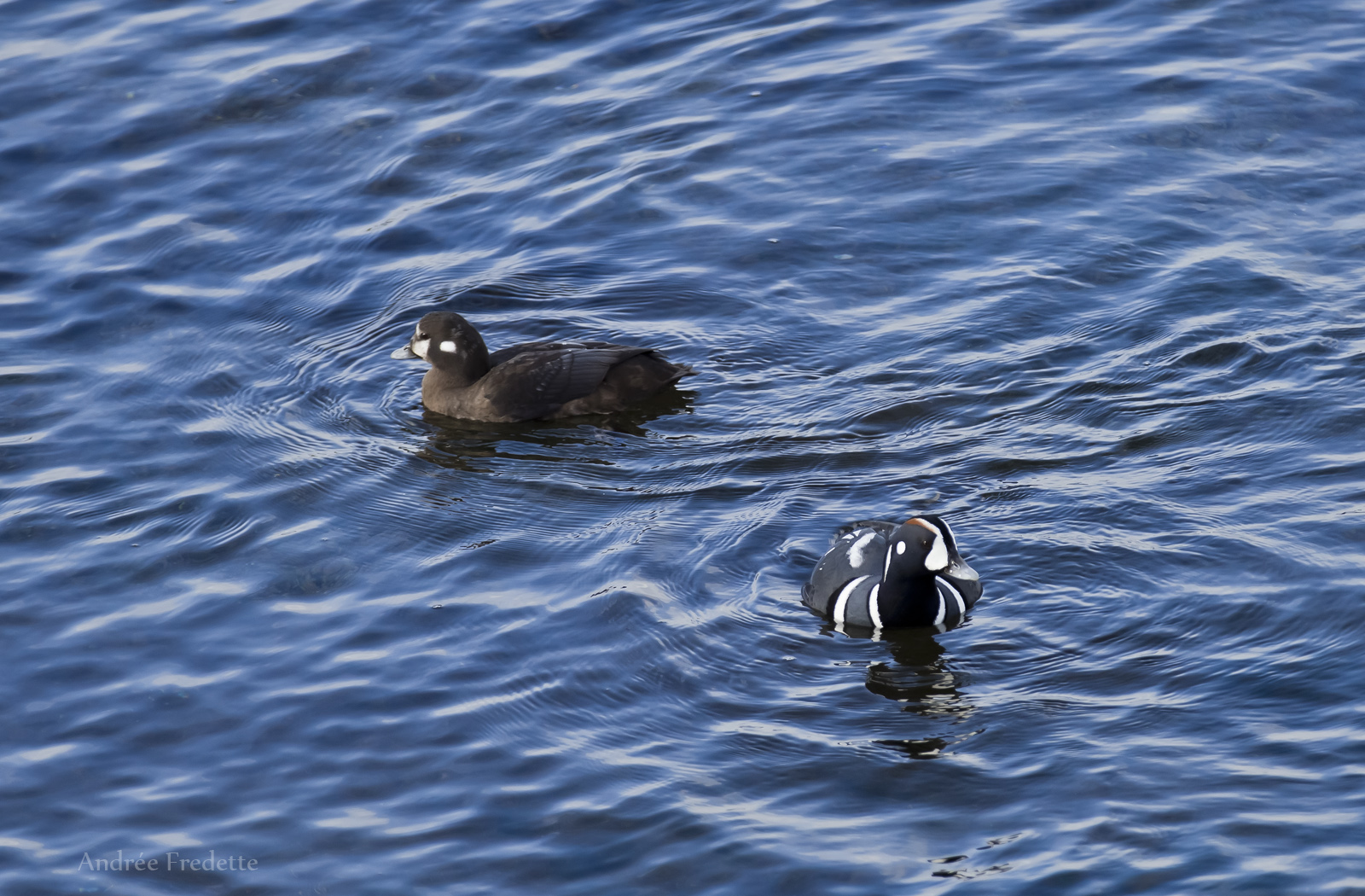 Harlequin ducks, East Point, Saturna Island, BC. Photo by Andrée Fredette