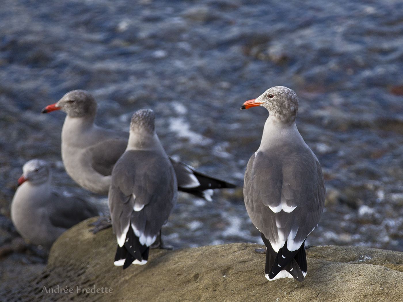 Heerman's gulls, East Point, Saturna Island, BC. Photo by Andrée Fredette