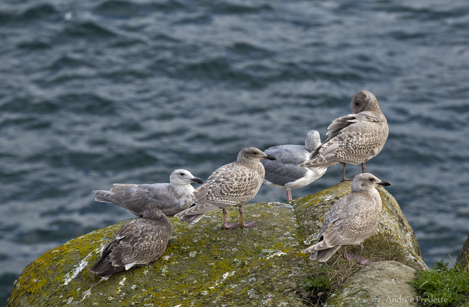 Immature herring gulls at East Point, Saturna Island, BC. Photo by Andrée Fredette