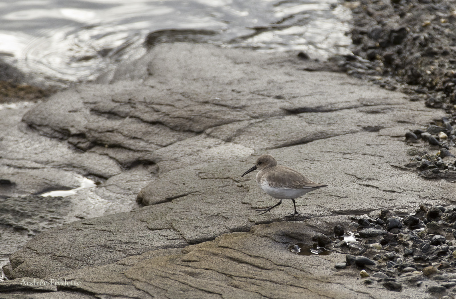 Sandpiper, East Point, Saturna Island, BC. Photo by Andrée Fredette