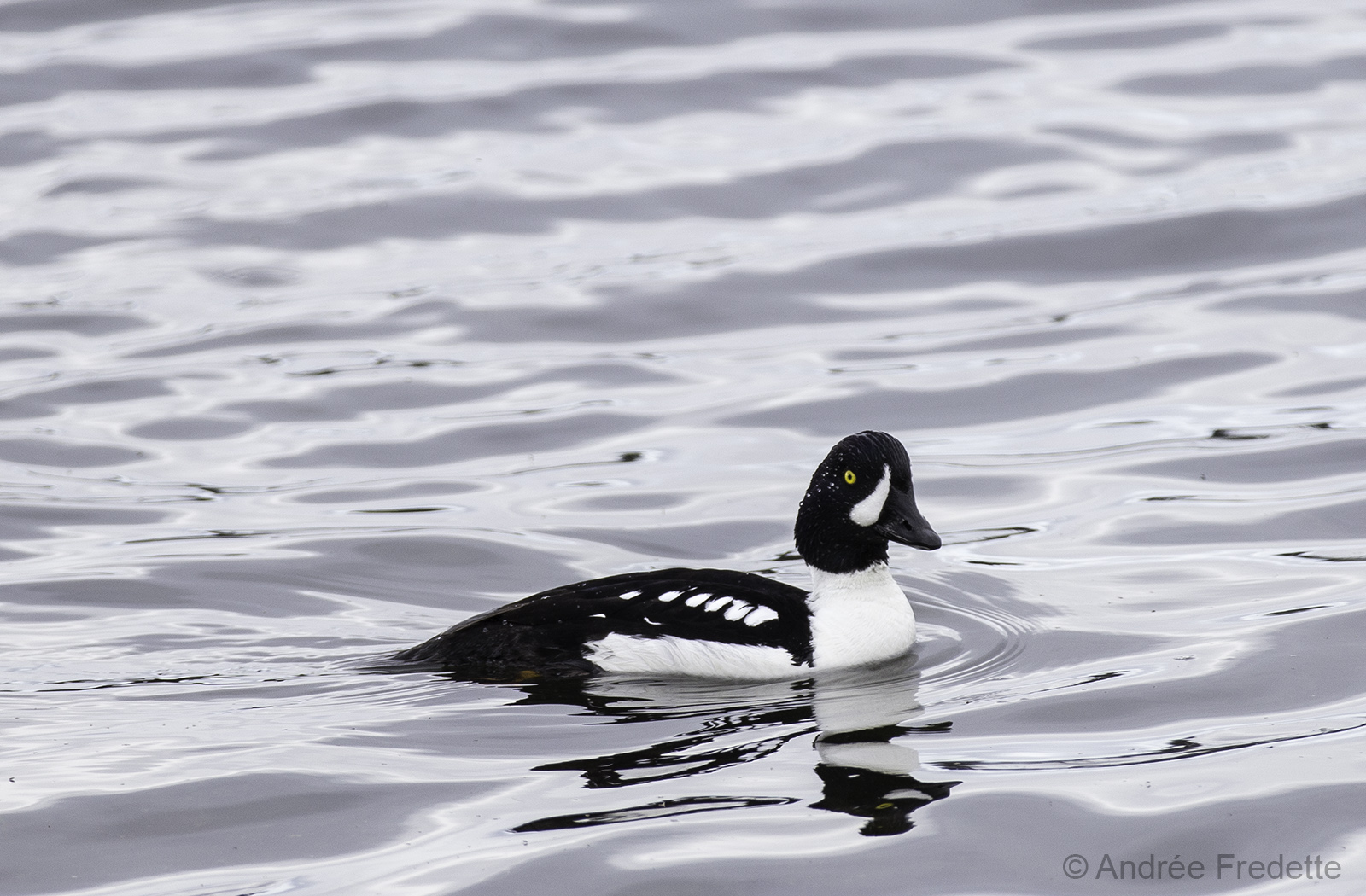 Barrow's Goldeneye (Bucephala islandica). Photo by Andrée Fredette