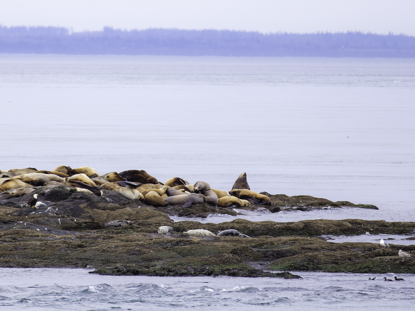 Steller sea lions, Harbour seals, Bald eagle, gulls and ducks on Boiling Reef. Photo © Andrée Fredette