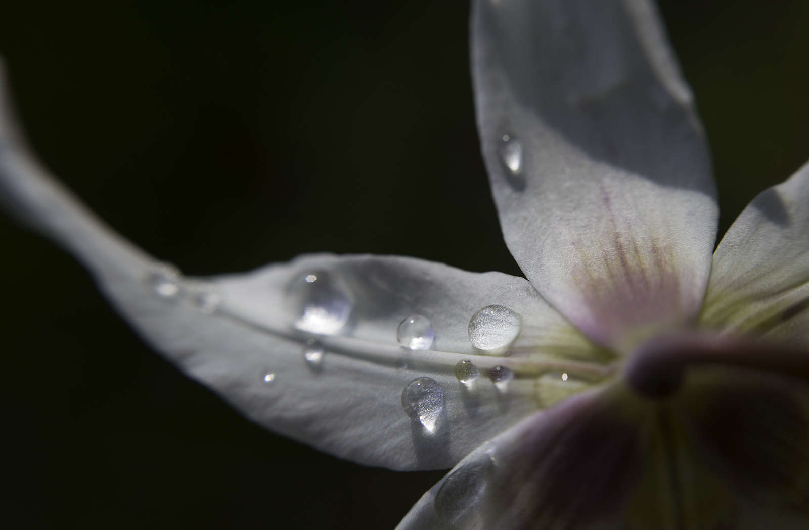 Fawn Lily (Erythronium oregonum) with rain drops. Photo © Andrée Fredette