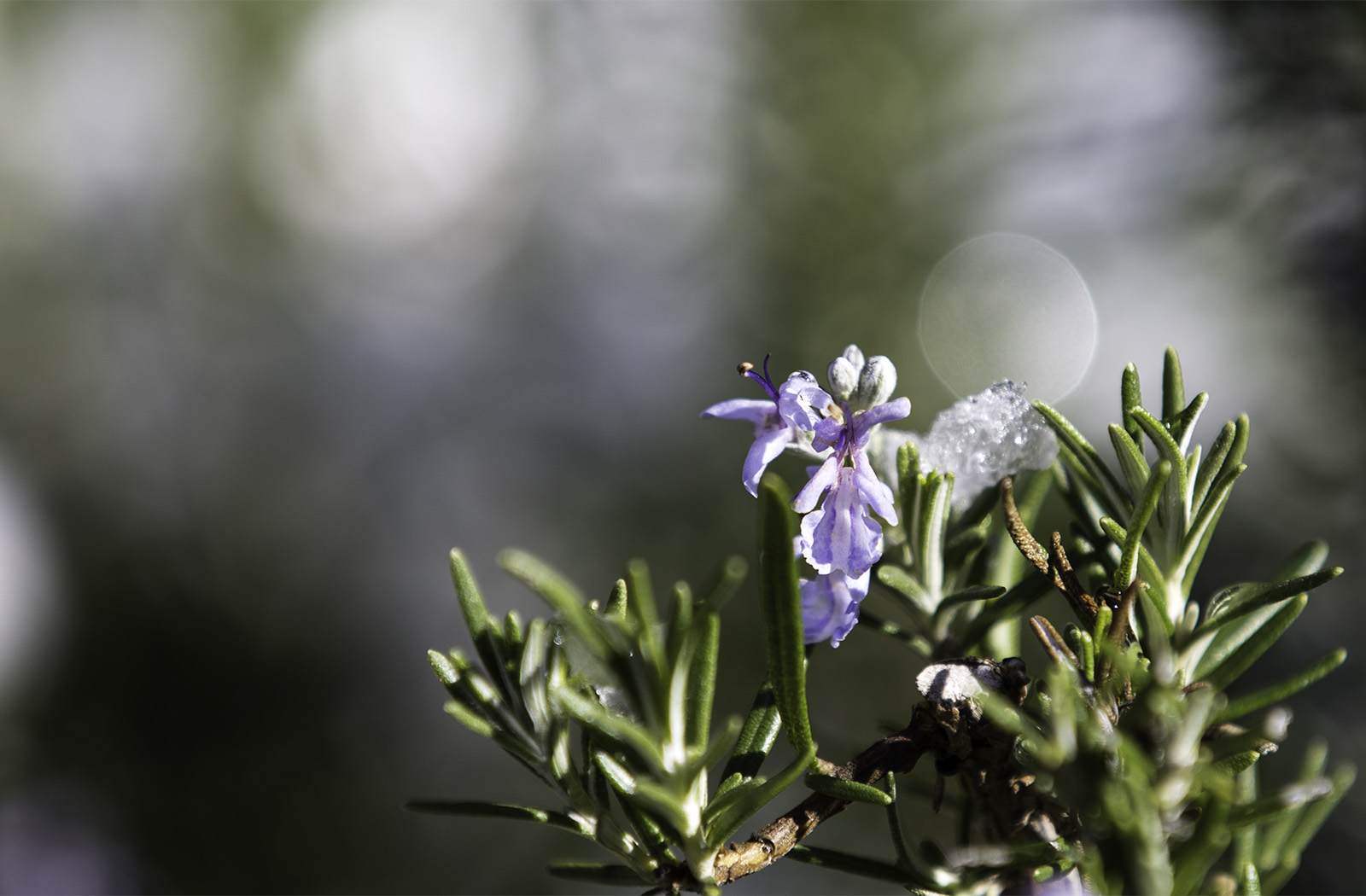 Rosemary in bloom. Photo © Andrée Fredette