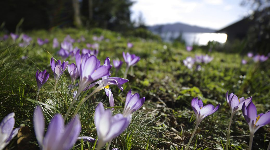 Crocus in the early spring. Photo © Andrée Fredette