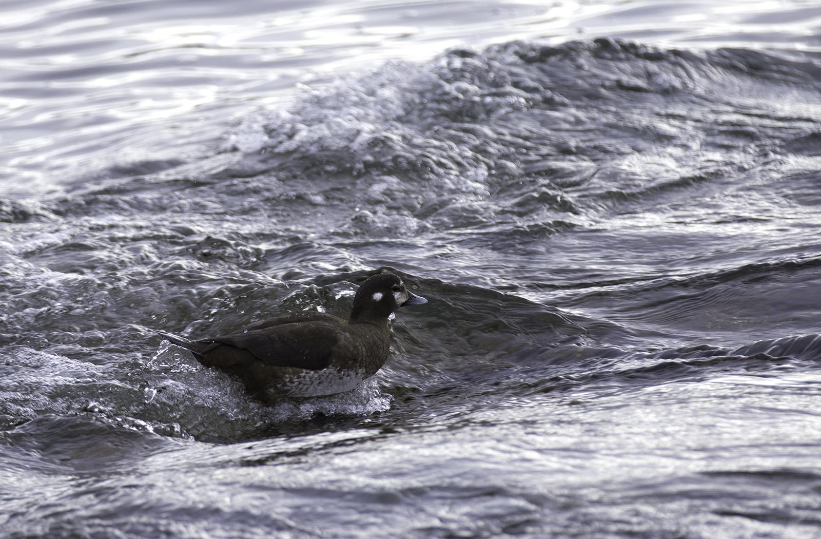 Harlequin duck female. Photo © Andrée Fredette