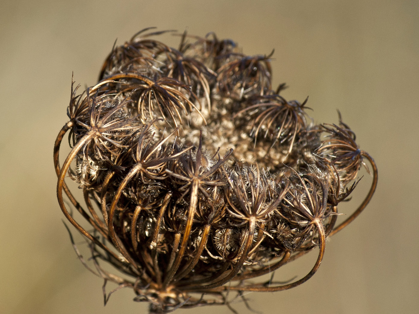 Queen Anne's lace seedhead, macro photography by Andrée Fredette